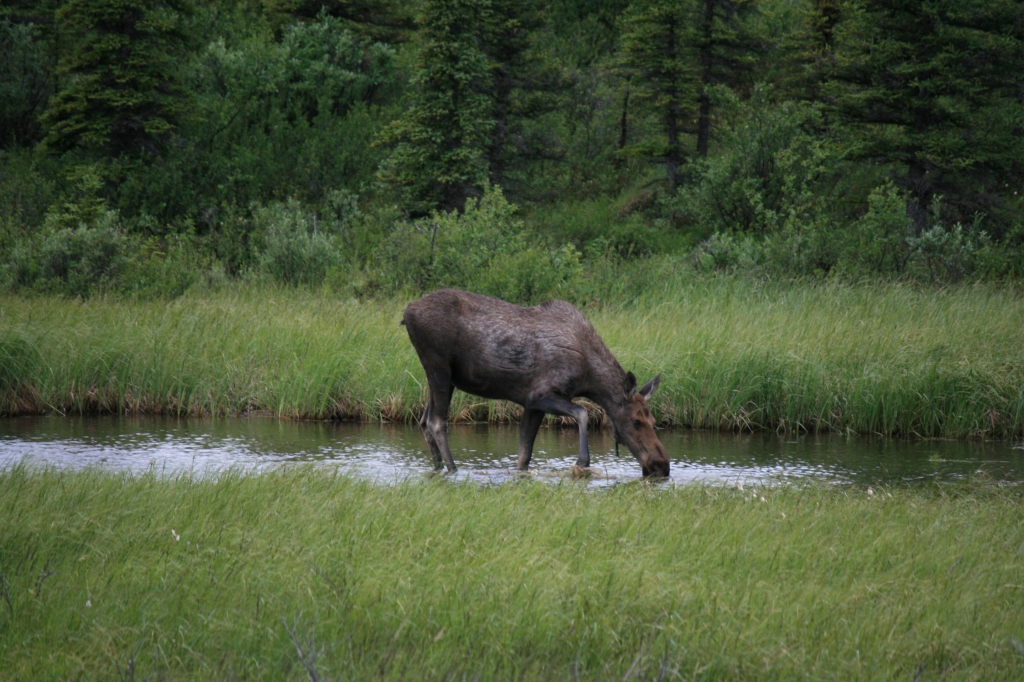 Moose sighting on route to Valdez