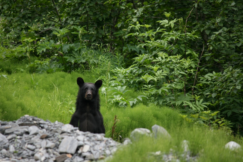 Black Bear on a hikking trail in Valdez